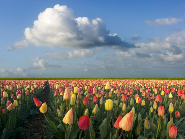 Image courtesy of (i.e. stolen from) http://netherlands-consulate.com/growing-dutch-tulips-in-gibraltar/